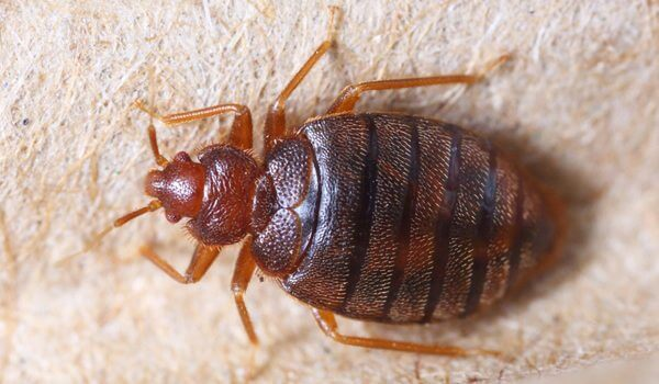 Bed Bugs Proving Difficult To Put To Rest